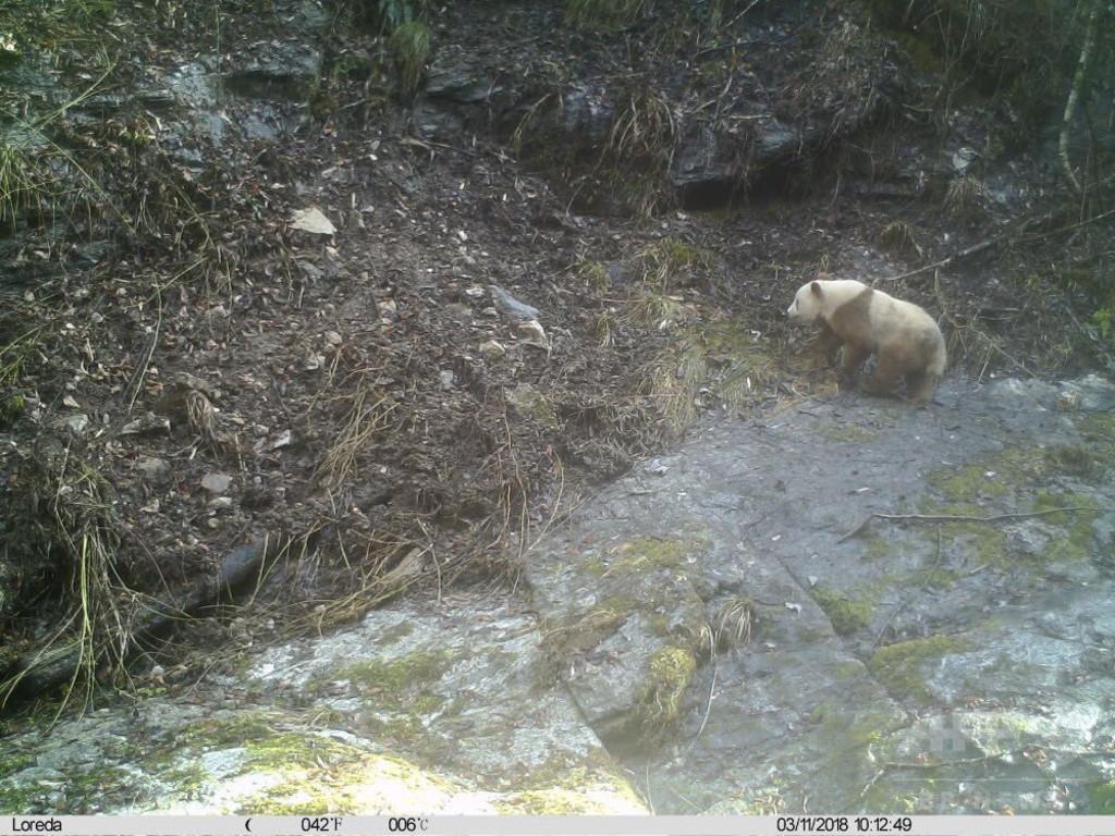 「茶色のパンダ」目撃情報  クマではないの? 陝西省