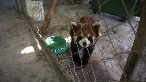 動画:中国からの密輸中に保護された「カンフー」レッサーパンダ、新たなすみかに