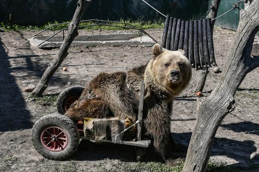 世界で初めて二輪歩行器に乗った下半身まひのクマ「ウスコ」死ぬ ギリシャ