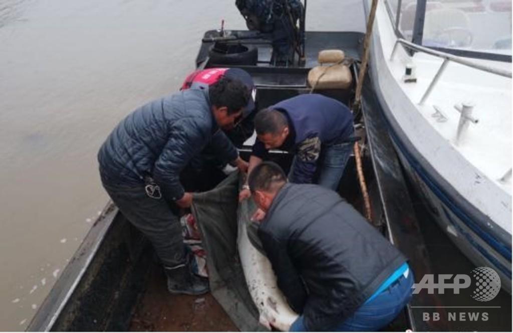 黒竜江で「生きた化石」ダウリアチョウザメが捕獲される