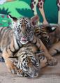 トラっぽくなってきた? 華南トラの三つ子、生後3か月に 杭州
