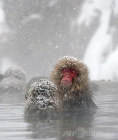 露天風呂を満喫する地獄谷のニホンザルたち