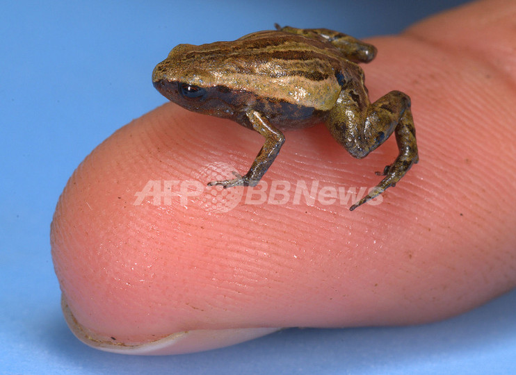 南米アンデス山脈最小のカエル