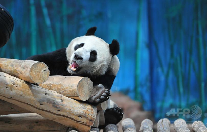 「ボク、女の子じゃないよ」 遼寧の動物園がパンダの性別を訂正