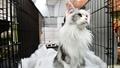 動画:コスタリカでキャット・エキスポ、かわいい猫たち大集合