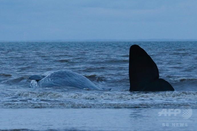 欧州でまたマッコウクジラ打ち上げられる 英、2週間で29頭目