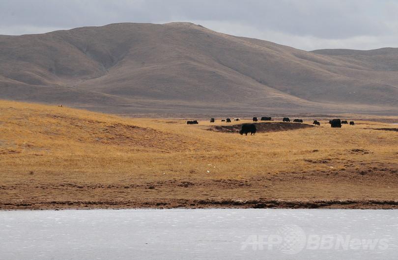 黄河上流にブタ死骸170匹超、中国