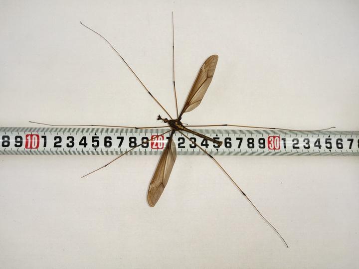 巨大な蚊、ギネス認定 四川で発見