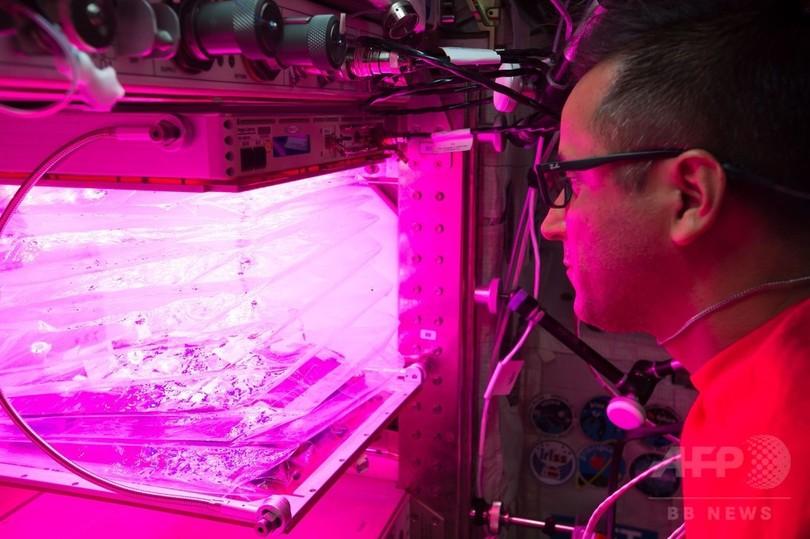 宇宙でレタス3種を同時栽培、「野菜装置」で飛行士ら初挑戦 ISS
