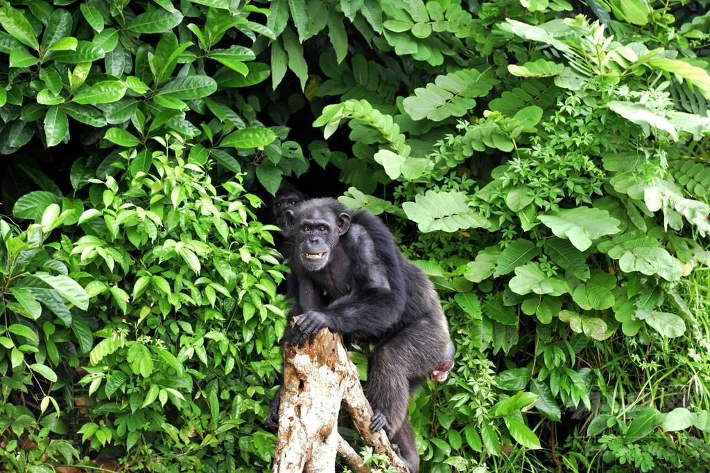 エボラ熱からゴリラやチンパンジーを守るワクチン発表