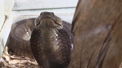 動画:不足する抗毒血清、毒ヘビ専門家が指摘 ケニア研究所