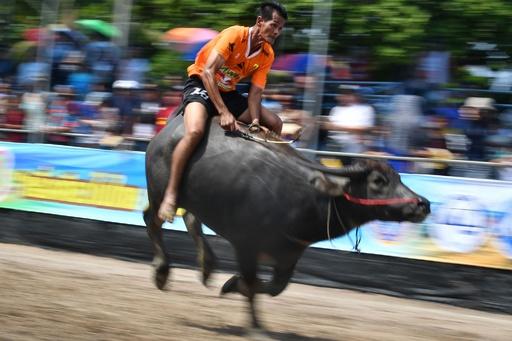 水牛の背に乗り疾走! 圧巻の伝統レース タイ