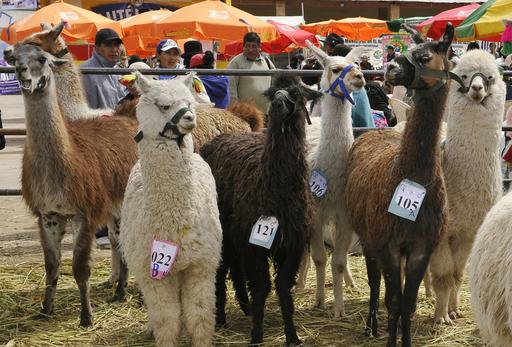 ラマやアルパカ大集合、ボリビアのラクダ品評会
