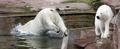 ホッキョクグマのフロッケ、4月中に南仏へお引っ越し