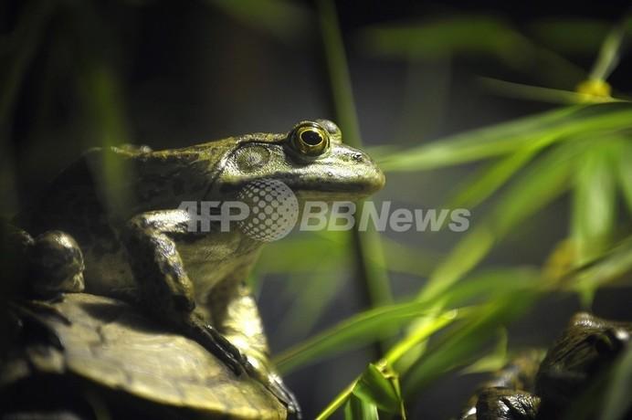世界中で激減するカエル、原因は除草剤「アトラジン」か 米研究