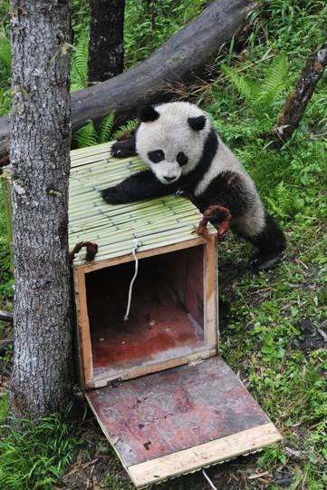 パンダの絶滅危機は一安心、ゴリラは「絶滅まであと一歩」