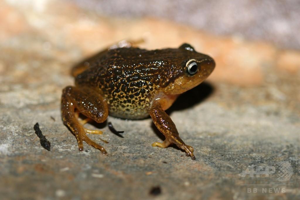 黄色の眉の新種カエル発見 コロンビア