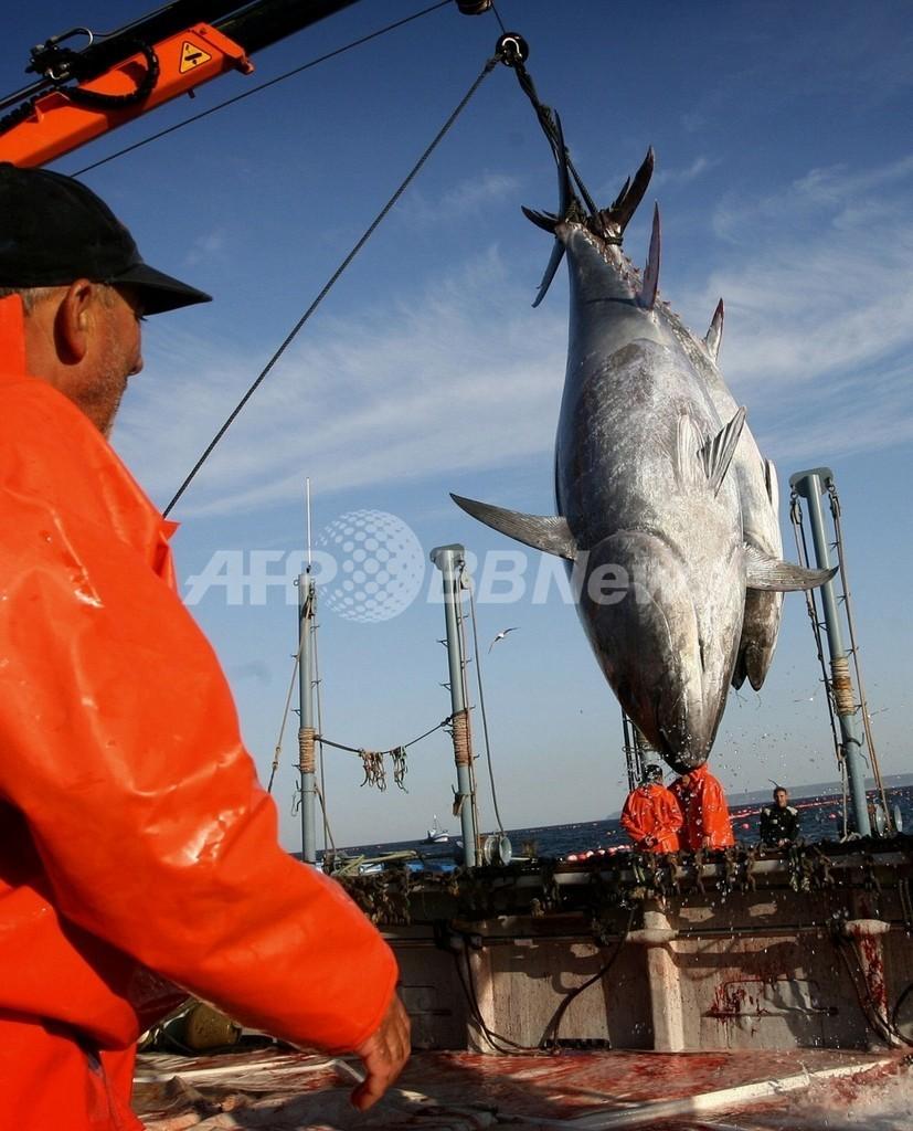EU、クロマグロ漁獲枠 現状維持か一部削減で合意