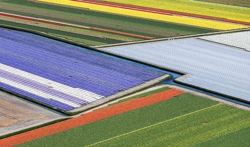 春らんまん、色鮮やかな花畑 オランダ