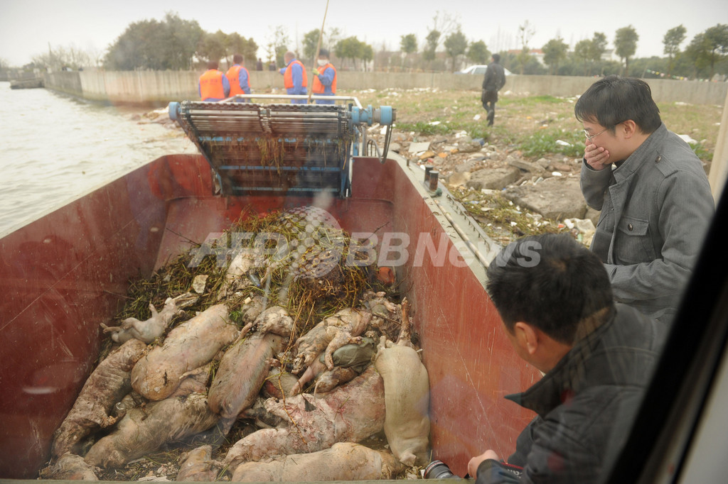 上海で回収された豚の死骸、6600匹に