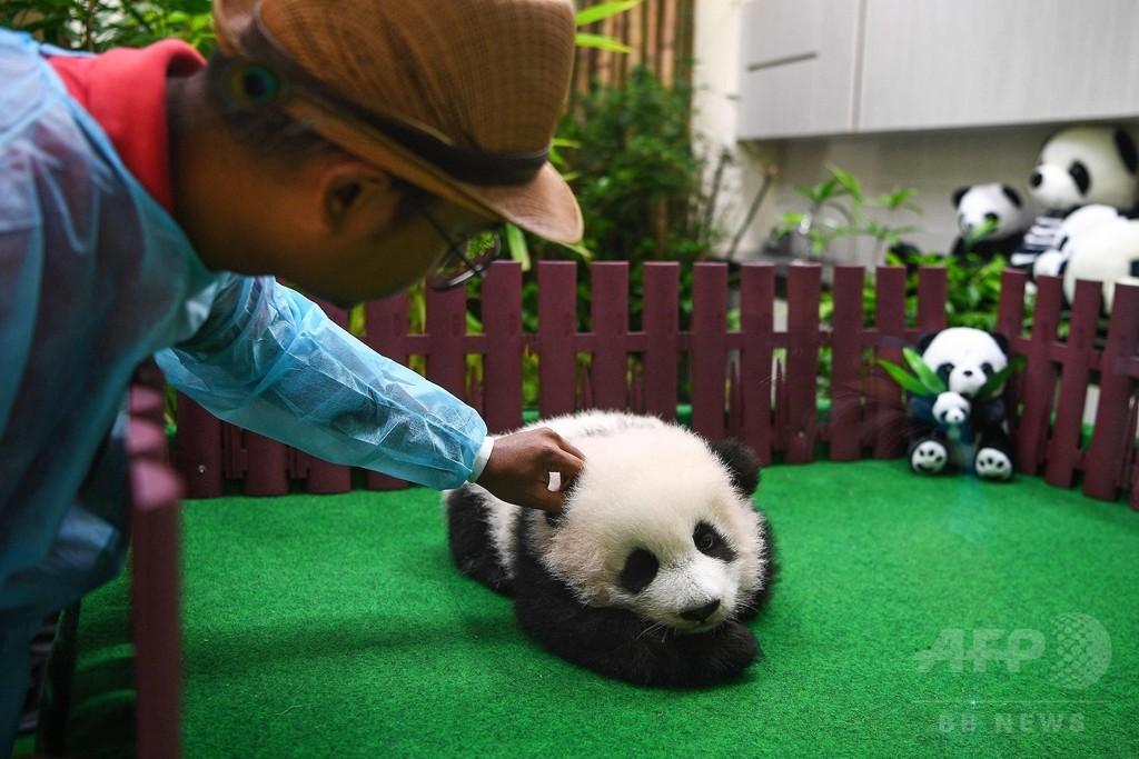 思わずなでたくなる、パンダのもふもふ赤ちゃん初公開 マレーシア