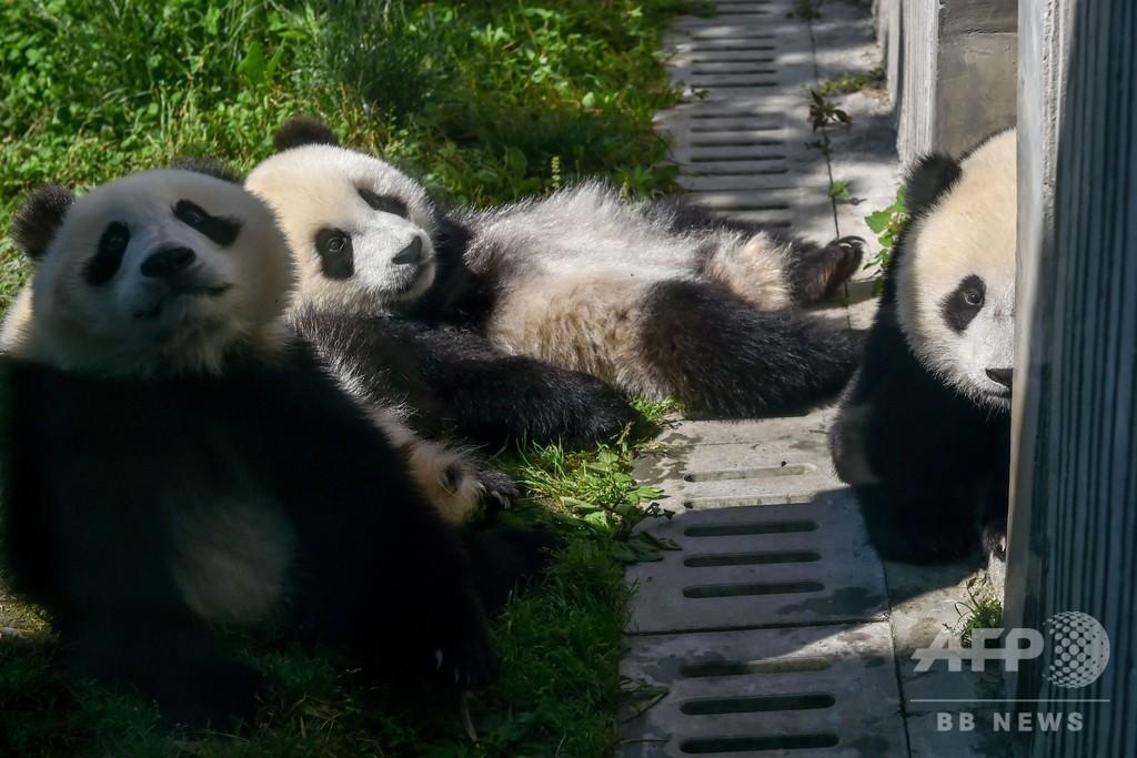 中国のパンダ保全でギネス認定 野生・飼育個体間で繁殖、双子育つ