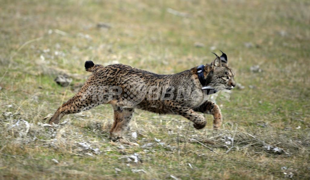 イベリアオオヤマネコ野生へ還る、スペイン南部で再導入