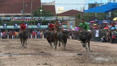 動画:振り落とされそう! タイで大迫力の水牛レース