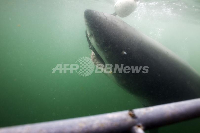 サメとヒトの脳に類似点、新たな「サメよけ」開発へ