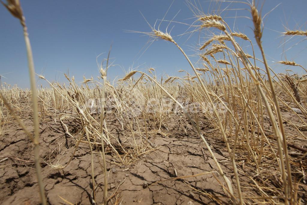 温暖化による酷暑で小麦が老化、2度上昇で収穫2割減