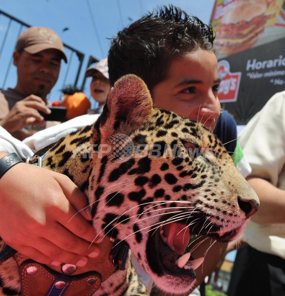 怖くない?サーカスでジャガーと記念撮影、ホンジュラス