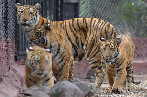 トラに自分を食べさせようとした男性を救出、中国の動物園