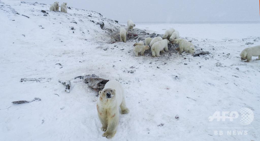 ロシアの村にホッキョクグマ56頭出没 気候変動が原因との指摘