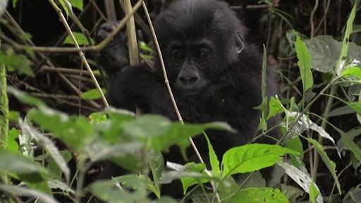 動画:国立公園と地元有力者らが対立、近絶滅種ゴリラの新たな脅威に コンゴ