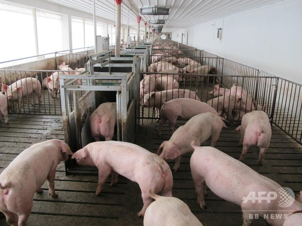 陝西・靖辺でアフリカ豚コレラ発生、発病150頭、死亡62頭