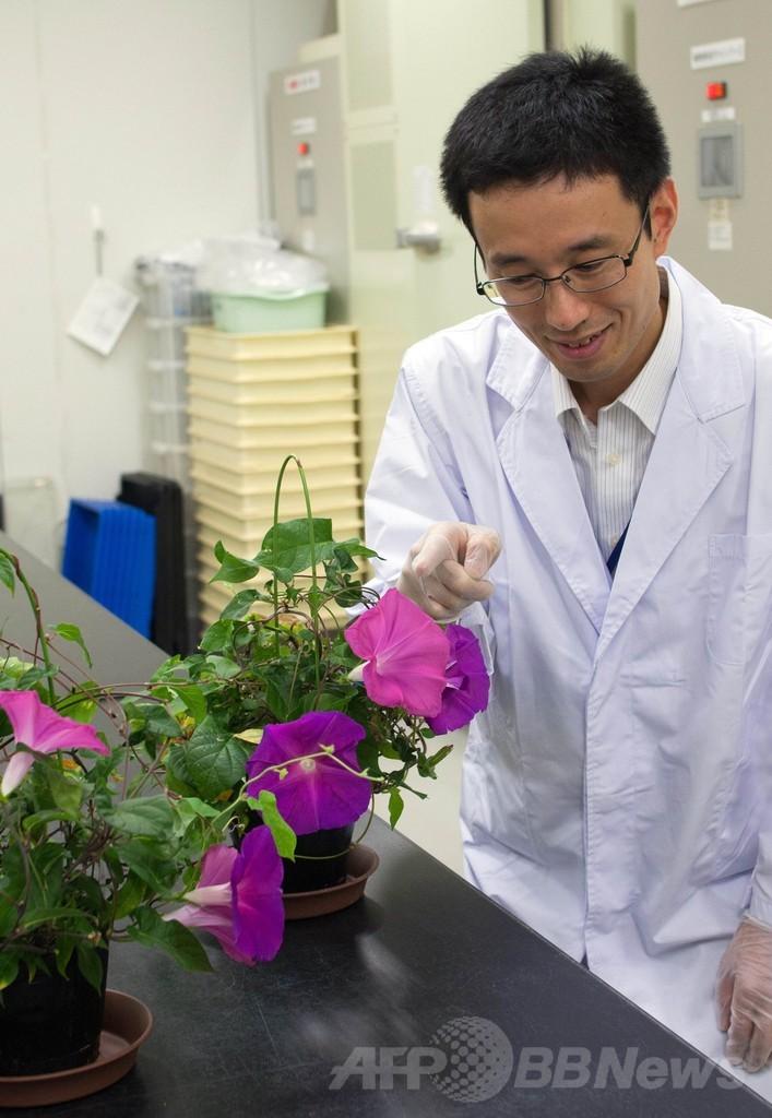 アサガオの花、老化させる遺伝子を発見 日本の研究