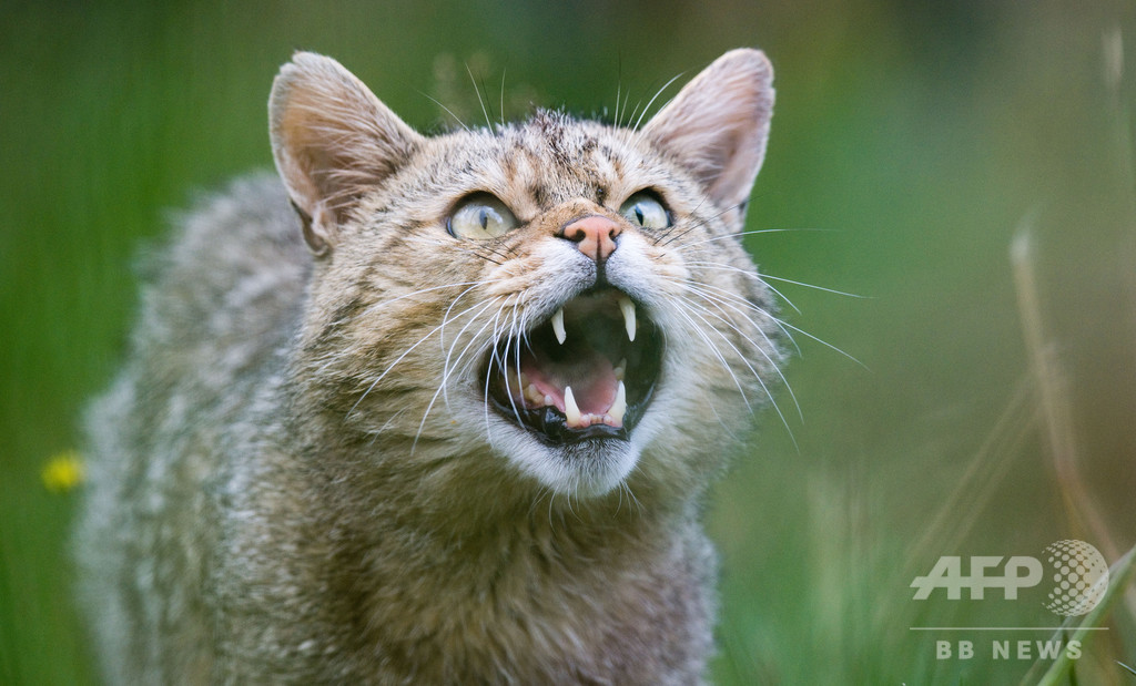 スイスのヤマネコ、「セクシーすぎて」絶滅の危機 研究
