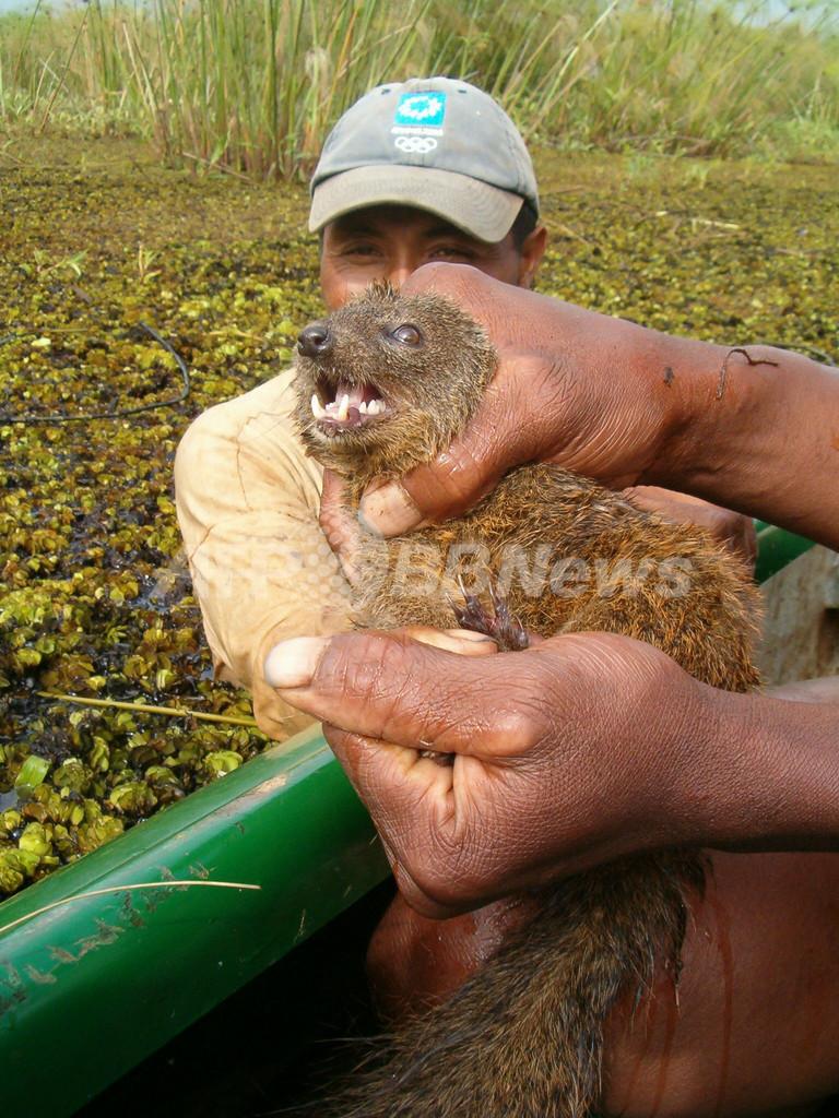 マダガスカルで新種の肉食ほ乳類を発見、マングース似