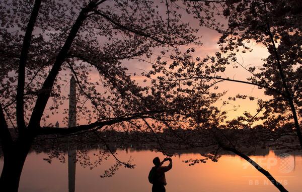 米首都ワシントンで桜が見頃