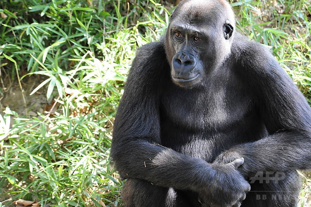 西アフリカのゴリラ、従来推計より多く生息か 絶滅危機は変わらず