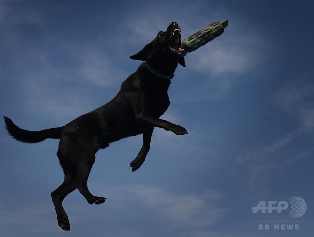 ラブラドルなど一部犬種、遺伝子変異で太りやすく 研究