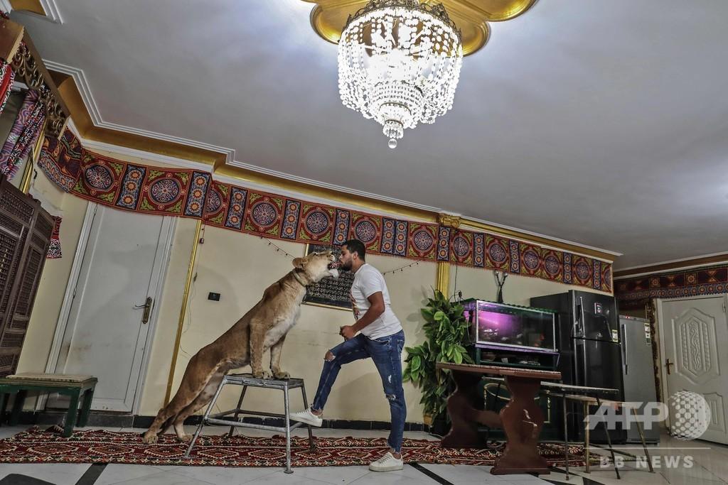 サーカス閉鎖なら自宅の居間で! エジプトの猛獣使い、ライオン調教を生配信