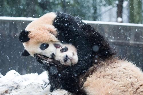 30年ぶり大寒波、パンダはエンジョイ?中国