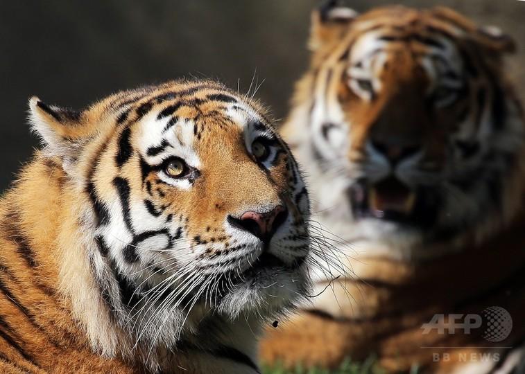 囲いのない動物園、トラもゆった...