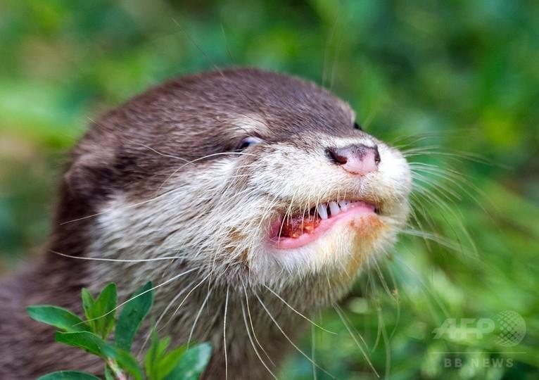 かわいい顔が…肉団子頬張るカワウソの子ども 独動物園