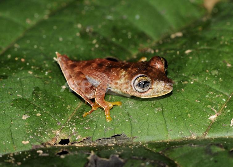 カウボーイのようなカエルなど46新種発見、スリナム熱帯雨林
