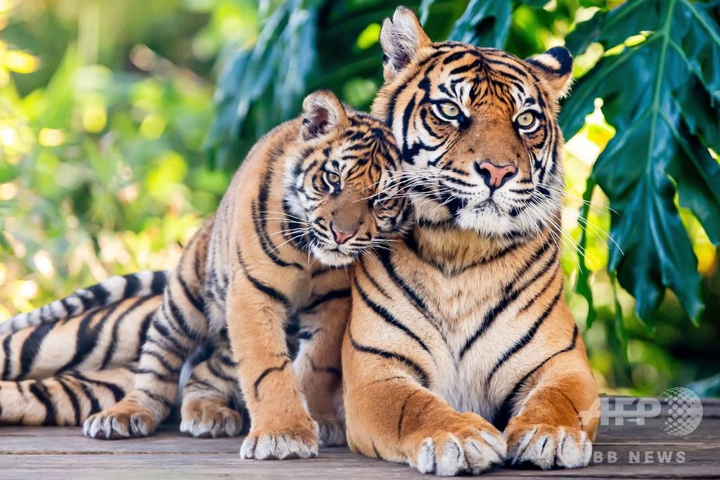 「世界トラの日」 スマトラトラの親子写真公開 豪動物園