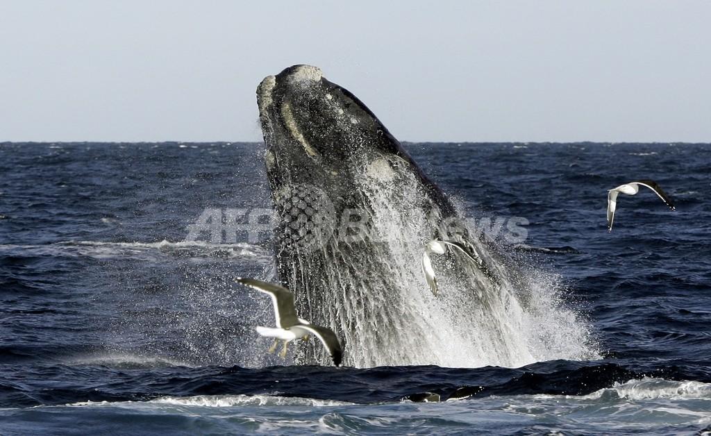 観光客の目の前で捕鯨、北海道