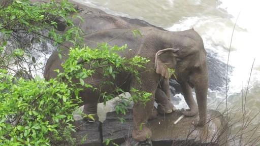 動画:ゾウ6頭が滝に落ちて死ぬ、仲間を助けようとして立ち往生の2頭を救出 タイ