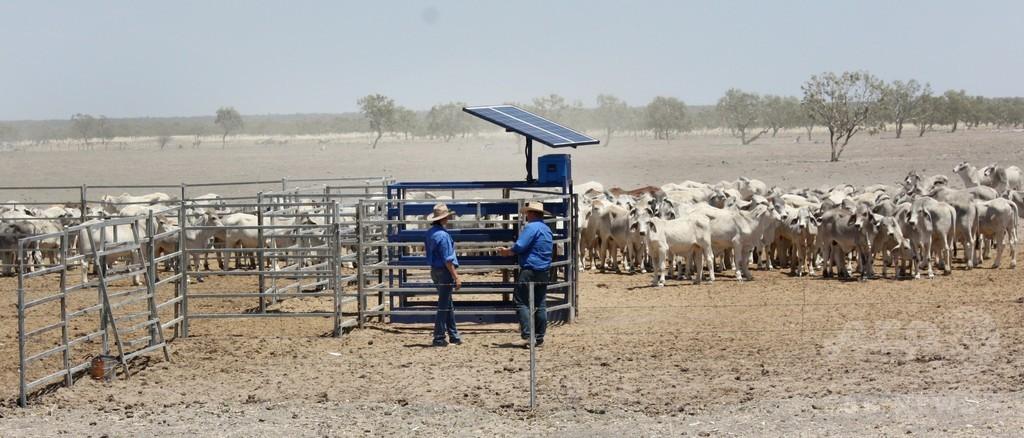 牧畜業者向け新技術、宇宙から牛の体重を監視 豪州